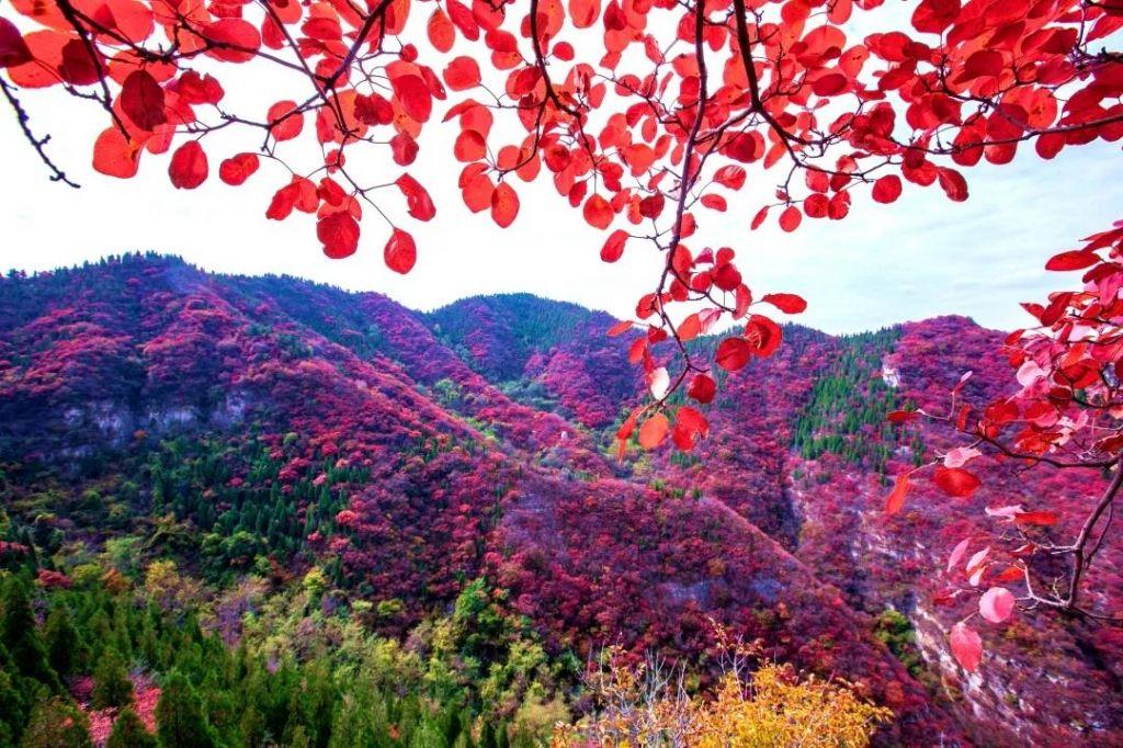 仰天山的红叶来了